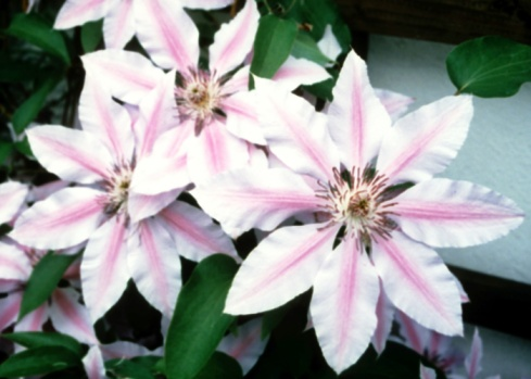 Can Clematis Grow in Shade?