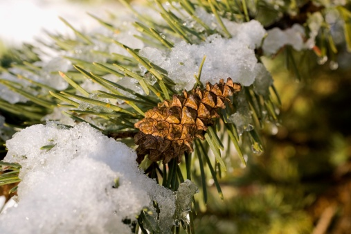 Parts of Pine Trees