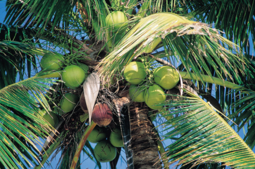 What Is the Climate for the Coconut Tree?