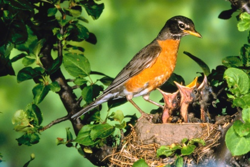 How to Get Rid of a Robin's Nest