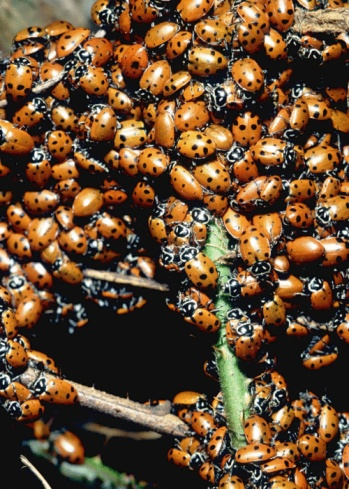 Indoor Ladybug Removal