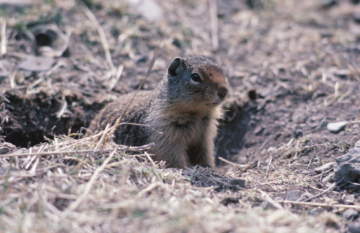 How to Get Rid of Gophers Naturally