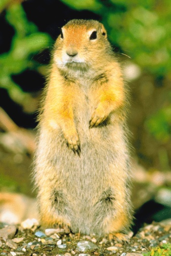 How to Kill Ground Squirrels