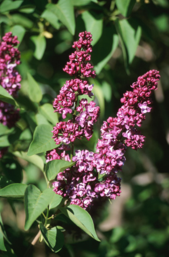 Lilacs & Problems With Brown Leaves