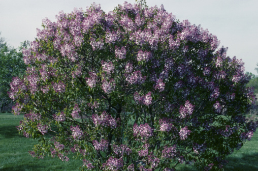 Do Deer Eat Lilac Bushes?