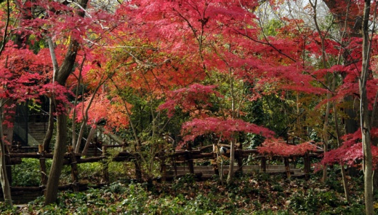 How to Clone a Japanese Maple