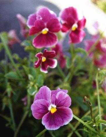 How Often Should You Water Pansies?