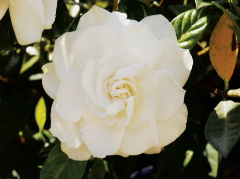 When Do Gardenias Bloom in Florida?