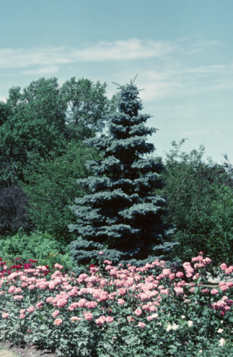 How to Make a Blue Spruce Blue