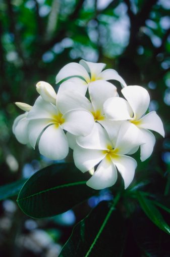 The Best Fertilizer for Plumerias