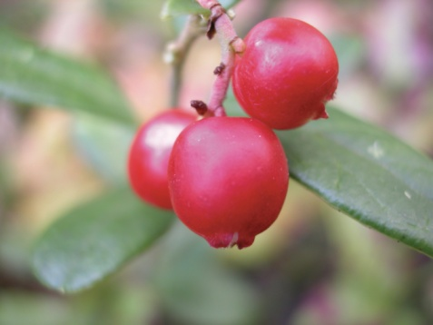 How to Tell If a Wild Berry Is Edible or Non-Edible?