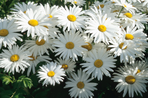 How Long Does a Daisy Last?