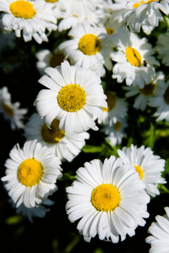 How to Prune a Daisy