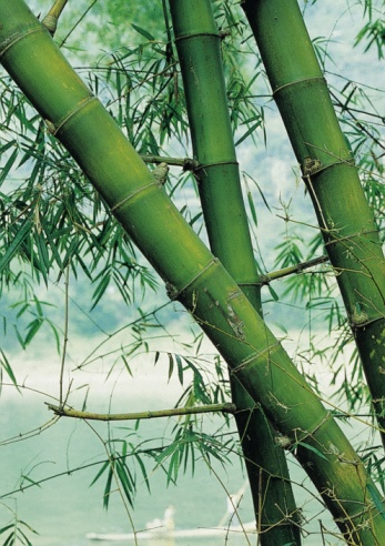 How to Get Rid of Black Mold On My Bamboo Plant