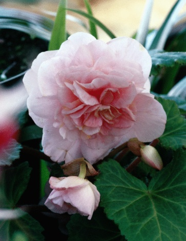 When Do Begonias Come in Season?