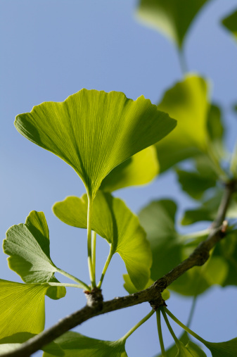 Problems With Gingko Tree Leaves