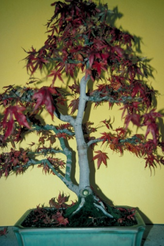How to Grow Maple Trees Indoors