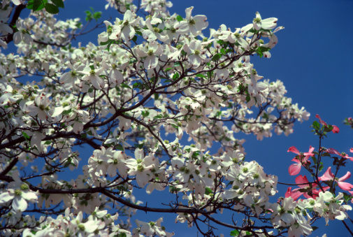 How Close Can I Plant a Flowering Dogwood Tree to My House