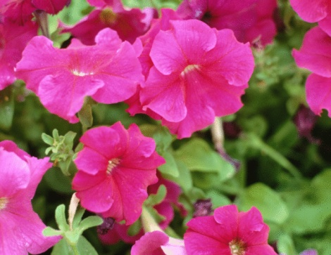 What Is the Correct Way to Deadhead Petunias?