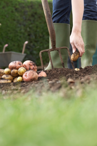 When to Plant Potatoes in Oklahoma