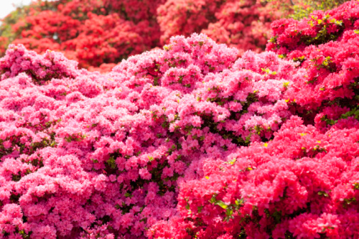 Do Azaleas Bloom All Summer?