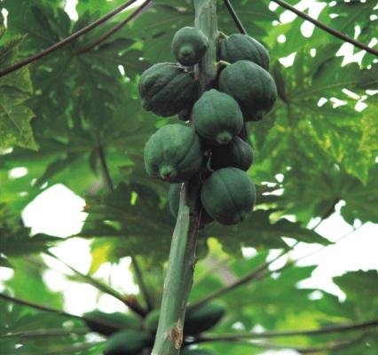 Bisexual female fruit papaya plant shape