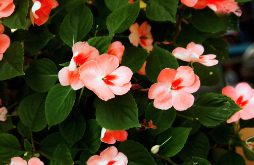 How Often Should You Water Impatiens in Containers?