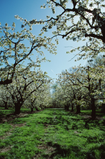 When Do Pear Trees Blossom?