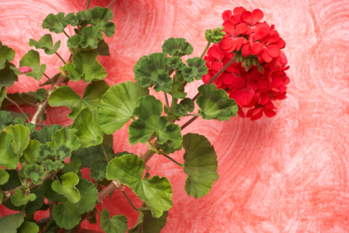 Do Geraniums Like Sun or Shade?