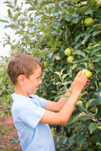 How to Identify Leaves on Apple Trees