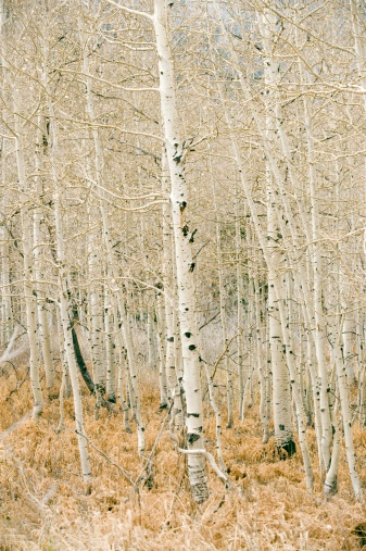 Types of Aspen Trees