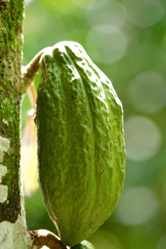 Life Cycle of the Cocoa Tree