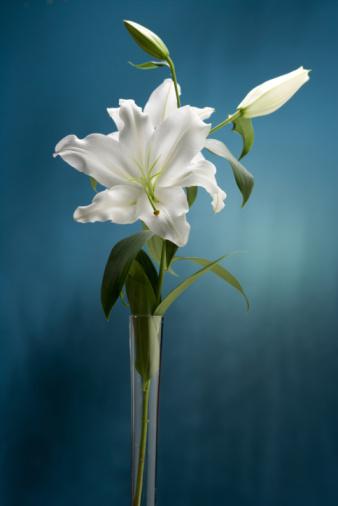 Characteristics of Lilies