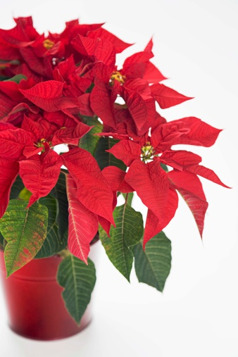 Care Instructions for Poinsettias