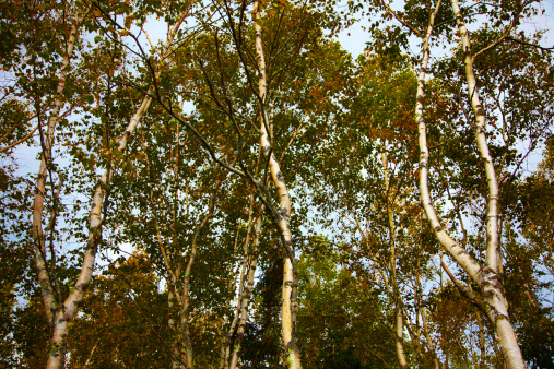 Do Birch Trees Have a Shallow Root System?