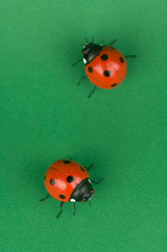 What Eats Ladybugs?