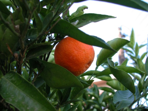 Types of Satsuma Trees