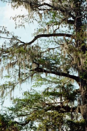 Pond Cypress Vs. Bald Cypress
