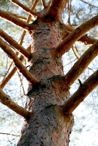 How to Make Pine-Sap Salve