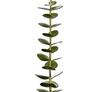Are Eucalyptus Leaves Toxic?