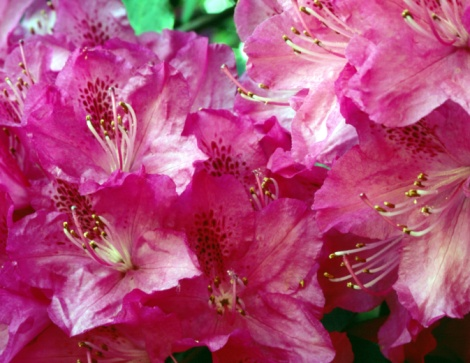 Can You Root Azaleas in Water?