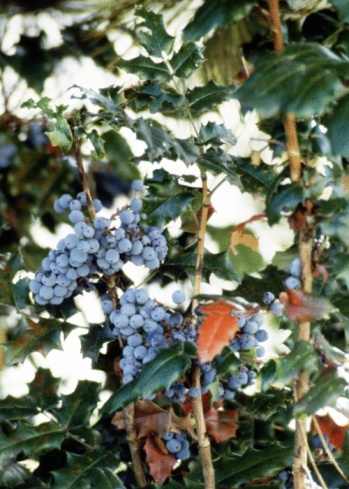 How to Kill an Oregon Grape