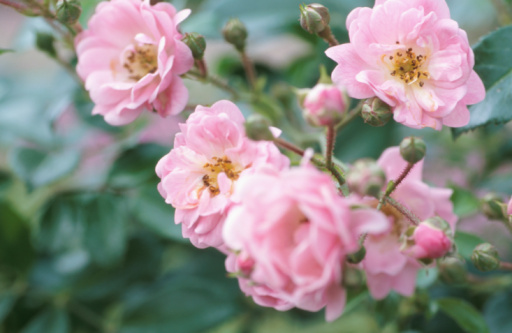 How to Prune Overgrown Roses