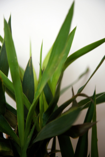 How to Cut Back a Dracaena Corn Plant