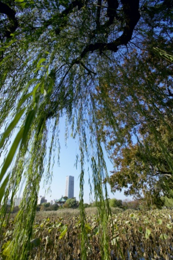 How to Care for a Dying Weeping Willow Tree