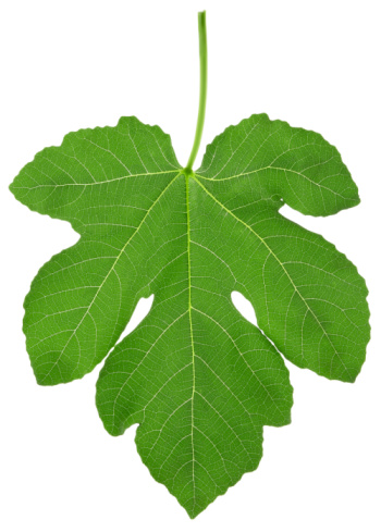 Are Fig Trees Deciduous?