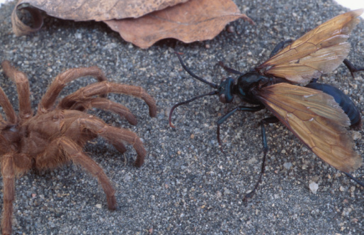 Black Winged Ants That Sting