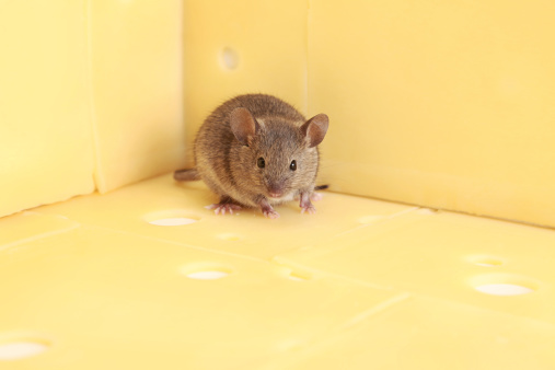 What Foods Can Kill Mice?