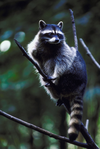 How to Keep Raccoons Out of Hummingbird Feeders