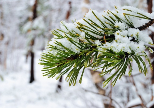 How to Identify Types of Pine Trees
